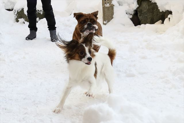 snow-dogrun012
