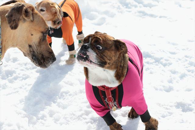 snow-dogrun028