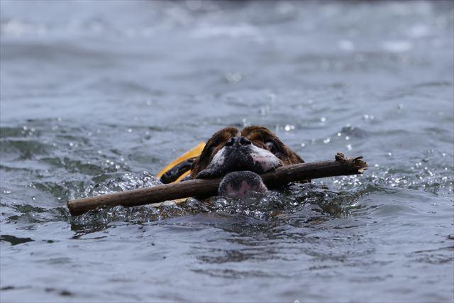 伊豆の海で泳ぐブルドッグ