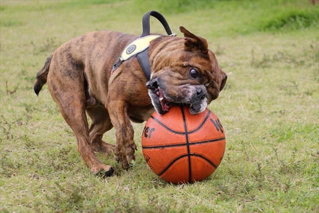 バスケットボールと戯れるブルドッグ