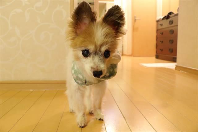 老犬パピヨン