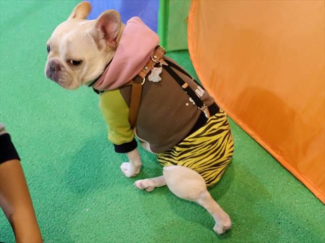 カミナリパンツを履いた犬