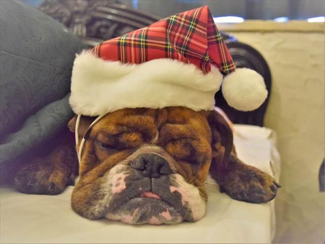 クリスマスとブルドッグ
