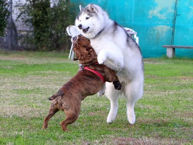 ハスキーとブルドッグの相撲