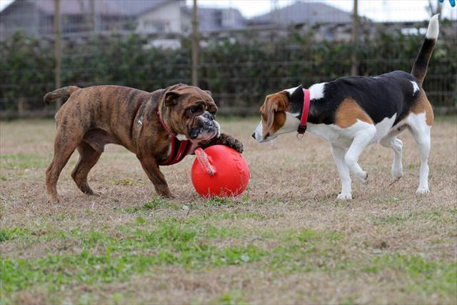 ボールを独占する犬