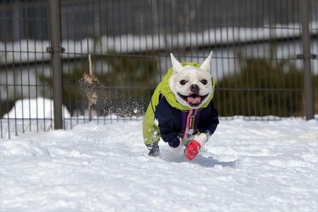 雪上ドッグランで元気よくはしるフレブル