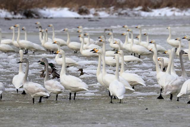 白鳥の飛来地