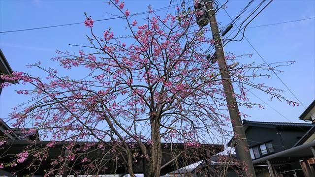 お庭のしだれ桜