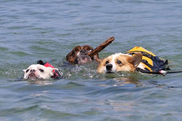 海で泳ぐ仲良し3ワンコ
