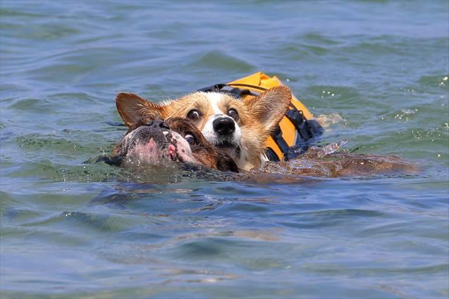 海で泳ぐブルドッグとコーギー
