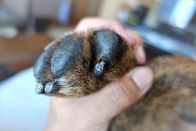 犬の爪切り