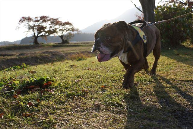 dog-walk008
