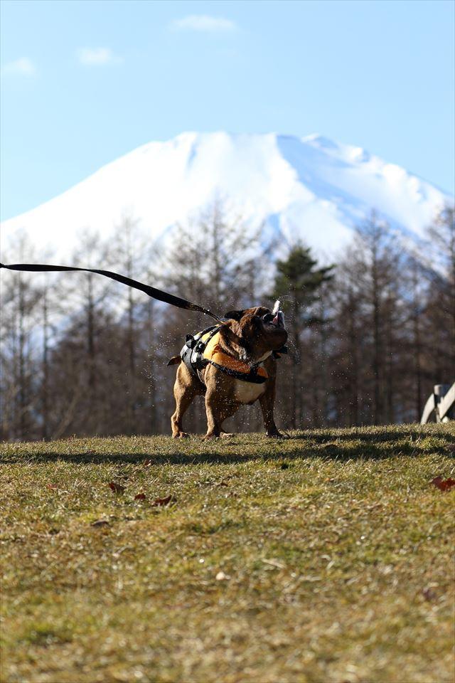 富士山とブルドッグ