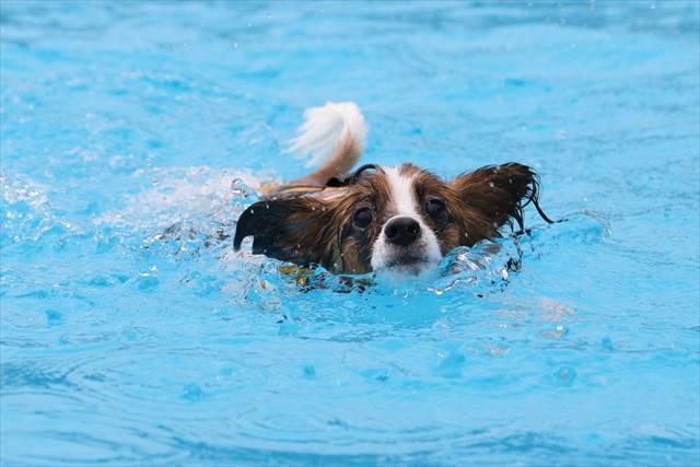 泳ぐパピヨン