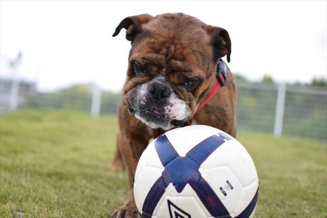 ボール遊びに夢中なブルドッグ
