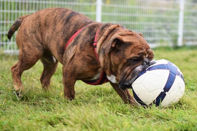 サッカーボールを咥えて移動
