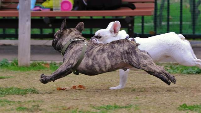 フレブル飛行犬