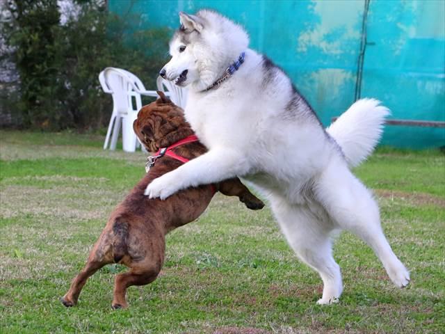 犬の相撲対決