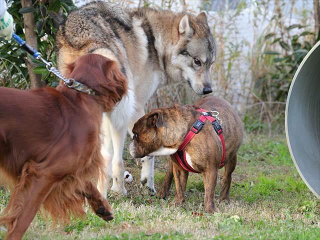オオカミの様な犬