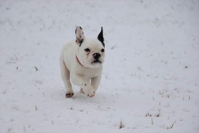 フレブルのパピーちゃん初めての雪