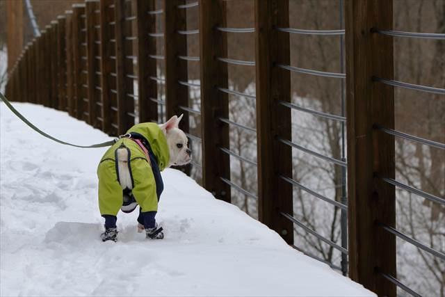 やすらぎ橋を渡るフレンチブルドッグ