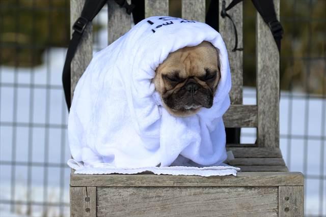 寒くて毛布に包まるフレンチブルドッグ