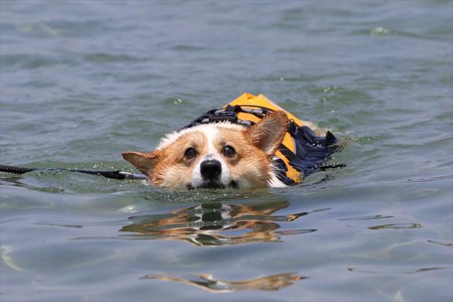 海を泳ぐコーギー