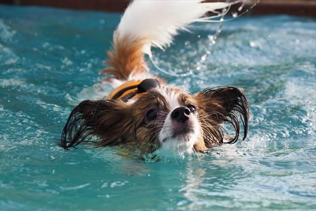 泳ぎを練習中のパピヨン