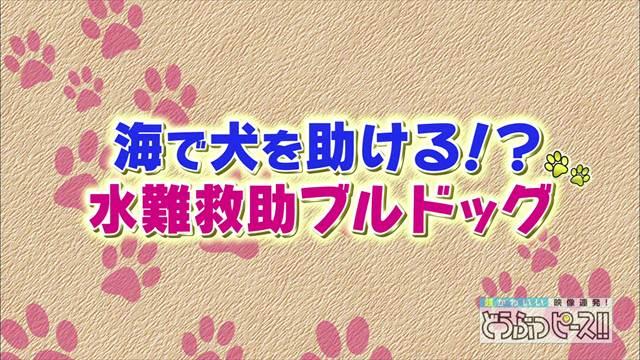 【どうぶつピース】水難救助犬ブルドッグ