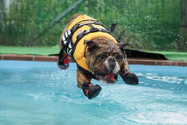 プールへ飛び込むブルドッグ