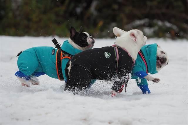 雪上ドッグランで遊ぶフレンチブルドッグ達