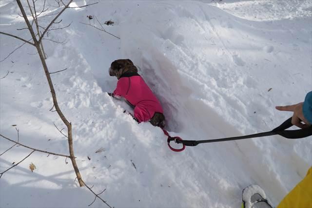 愛犬のでんすけ君が雪にハマる!