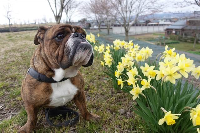 犬の散歩で注意!スイセンの有毒!