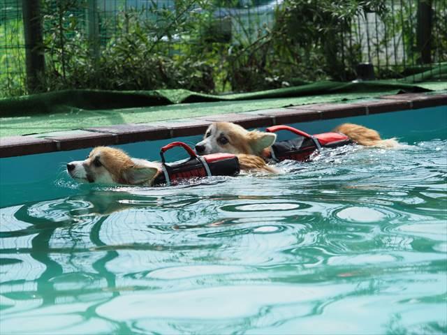 泳ぐコーギー×2