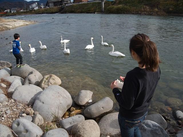 白鳥に餌付けできるスポット