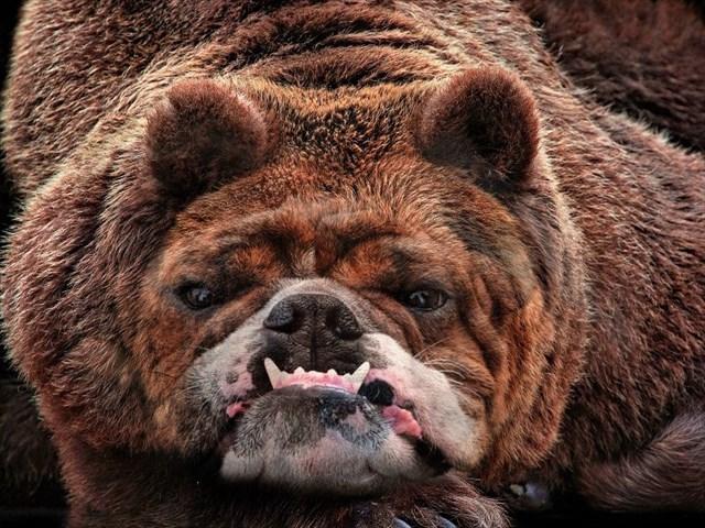 ブルドッグ顔の熊(フォトショもどきで合成)