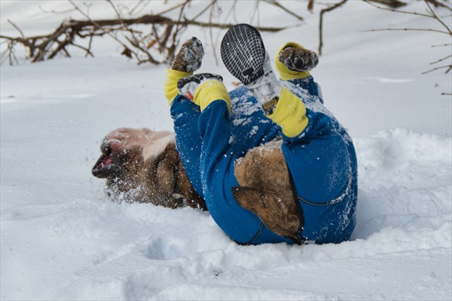 雪の上で転がり周るブルドッグ