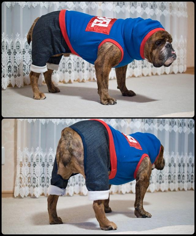 アメコミヒーローの犬服を着こなすブルドッグ