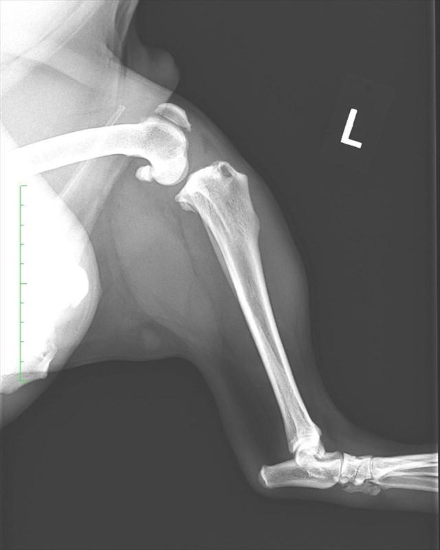 後ろ脚の膝関節のレントゲン撮影(ブルドッグ雄6歳)