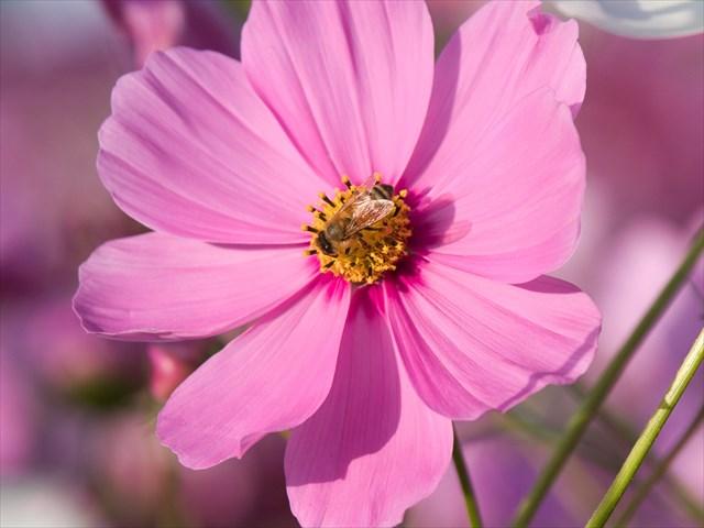 コスモス畑のミツバチ